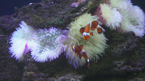 Clownfish shelters and anemone Footage