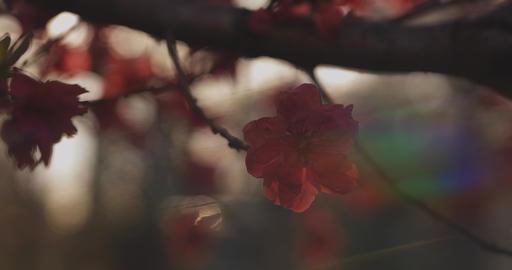 Dreamy red cherry flower in spring daytime medium shot Live Action