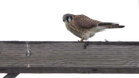 American Kestrel wiping beak to clean off prey it finished eating Live Action