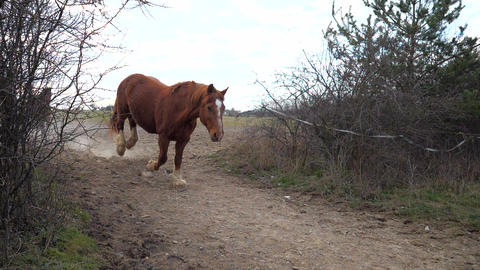 Light brown cold-blooded horse run followed by dark brown hucul by path between sloe bushes. Life on Acción en vivo
