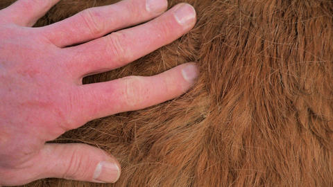 Man hand and fingers are touches fur. Heavy winter fur of light brown pony with long hairs, amasing Live Action