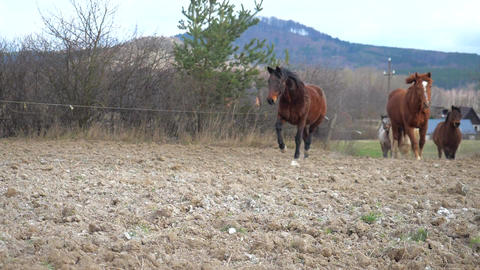 Leading warm-blooded horse followed by brown cold-blooded horse, white isabella horse, brown hucul Live Action