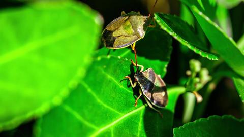 Bedbug on the leaf 4 Live Action