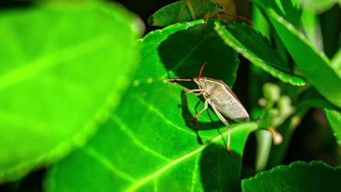 Bedbug on the leaf 2 Live Action