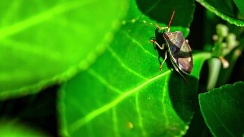 Bedbug on the leaf Live Action