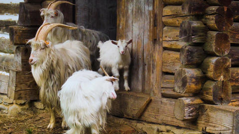Furry goats near wooden barn Live Action