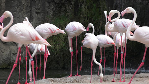 Wild Pink Flamingos At Nature Reserve Live Action