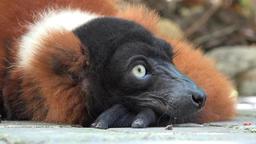 Adorable Wild Lemur Resting Live Action