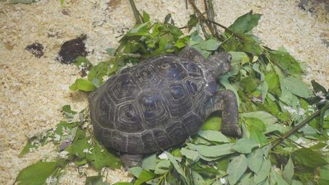 turtle eating green leaves 4k Footage