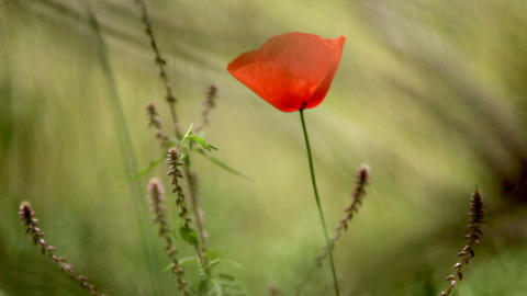 red flower on a blurry green background. Red poppy in a green field at the foot Live Action