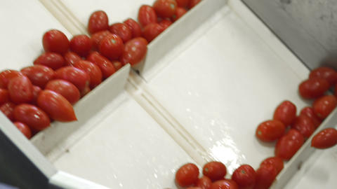 Canning Factory. Production of Canned Vegetable Products. Preserving Tomatoes Live Action