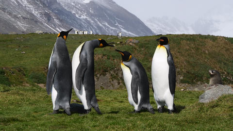 King Penguin on the beach in South Georgia Live Action