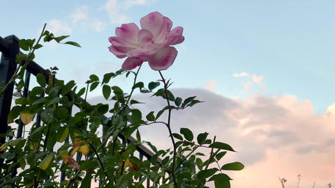 Time lapse of pink blooming pink rose with slow moving clouds Live Action