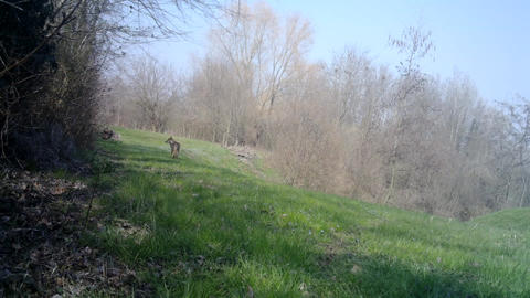 A Male of Wolf (Canis Lupus) walks in a conservation forest during a spring day Live Action