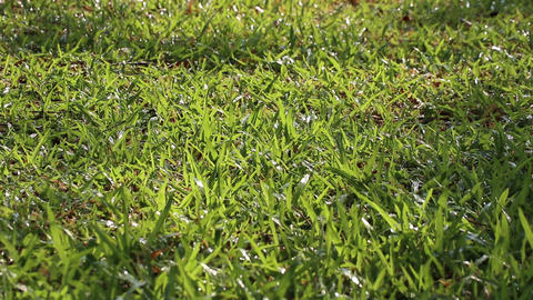Soft focus tropical carpet grass and sprinkling water Live Action