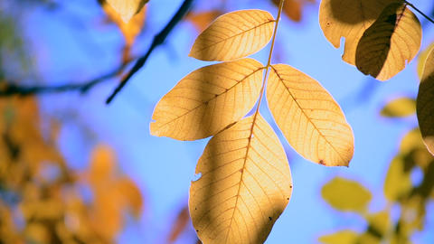 Yellow leaf on a branch on background of blurred yellow leaves close-up Live Action