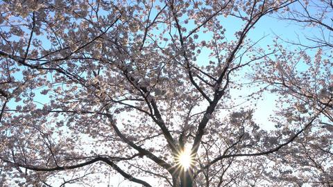 太陽の日差しと満開の桜 ライブ動画
