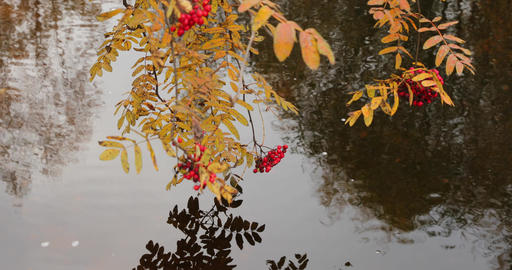 Branches with berries of a red mountain ash over water, yellow foliage Live Action