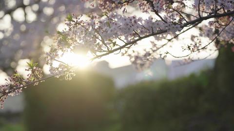 桜 朝日の逆光 ライブ動画