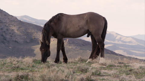 Wild horse grazing on top of hill with rolling hills in the valley behind Live Action
