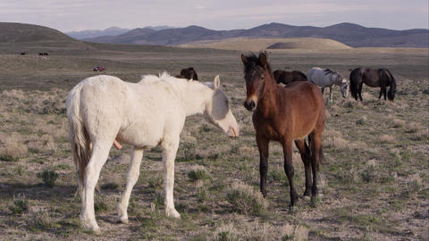 Two wild horses standing face to face and touching each other Live Action