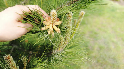 precipitation of pollen from pine cones lodgepole pine pinus contorta sylvestris Live Action