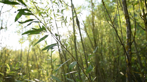 Green Reed Jungle Forest with Sun flair Summer, Sunny, Green Live Action