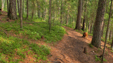 Walking trail in the coniferous forest. Russia Footage