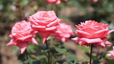 pink rose Footage