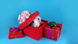 Christmas gift box surprise, white rabbit opening present box Footage