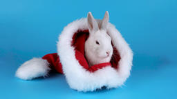 Fluffy white rabbit sitting and sniffing in a Santas hat Footage