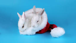 Christmas couple rabbits sitting in the Santa Claus hat, ready to keying Footage