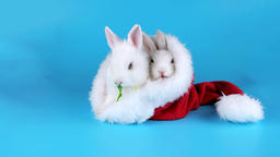 Two funny rabbits eating arugula salad in the Santa Claus hat, ready to be keyed Footage