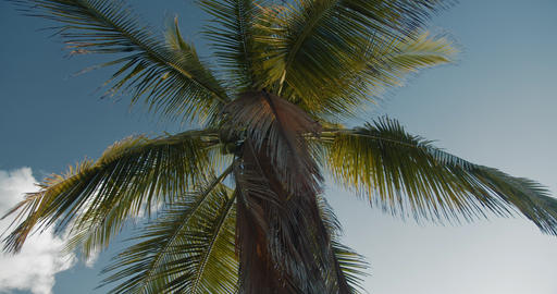 The sun shines through the leaves of an exotic palm tree bearing coconuts Live Action