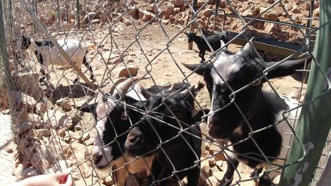 Feeding the hungry goats, Crete island, Greece Live Action