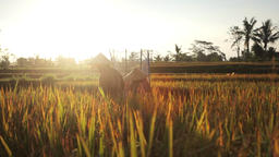 Indonesian farmers cutting and threshing rice in the rice fields during harvest Footage