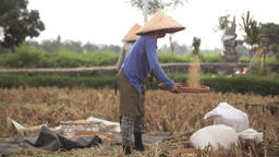 Farmer women sifting rice in the fields during harvest in Ubud, Bali Footage