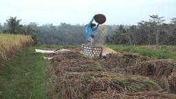 Balinese farmer harvesting rice in fields of Ubud, Bali during harvest season Footage