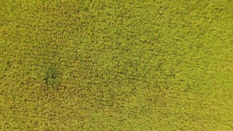 Rice Plant 影片素材