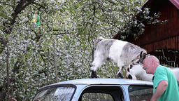 Goat kids perched on the roof of a car eat and play with a mature man Footage