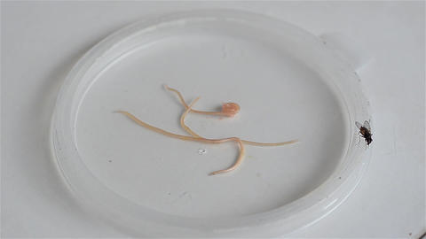 Tapeworms on a plate and a fly walking on the edge of the plate Live Action