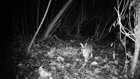 Hare (Lepus Europaeus) walks in a wood in a cold winter night Live Action