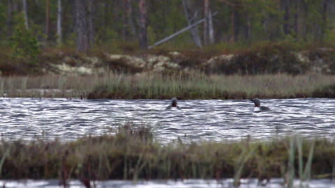 Two loons swim in overgrown lake among the taiga Live Action