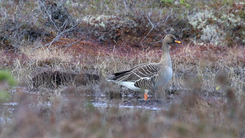 Forest-breeding bean goose (Anser fabalis fabalis) subspecies Live Action