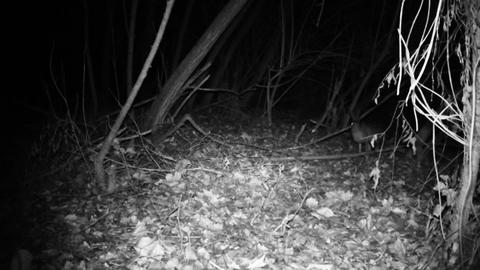 Hare (Lepus Europaeus) walks and sniffs in a wood in a cold winter night Live Action