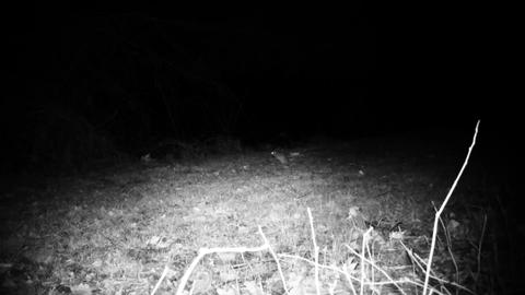 House Mouse (Mus Musculus) in a field in the night. Nature and Wildlife Video Live Action