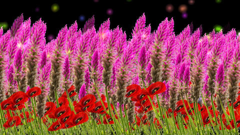 4k coxcomb, amaranth FLOWER FIELD Animation