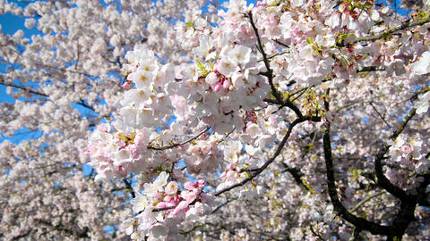 Cherry Blossom Branch Live Action