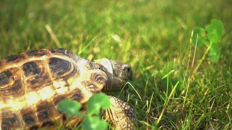 Turtle Feeding on Grass Footage