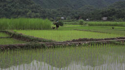 Vietnamese farmer man carrying harvest in rice fields of Sapa Mai Chau Vietnam Footage